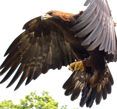 Golden_Eagle_in_flight[6]