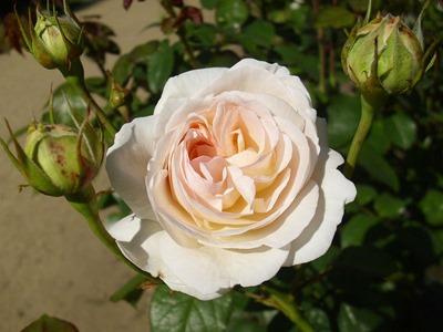 Rose_Lions