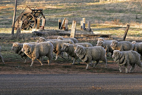 Sheep_walking_down_road