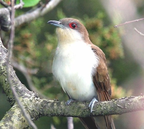 Black-billed-cuckoo2