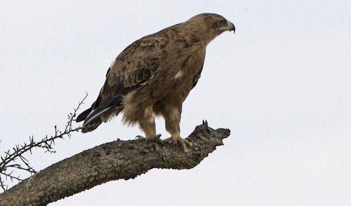 Booted_Eagle_(Hieraaetus_pennatus)_(2821390977)