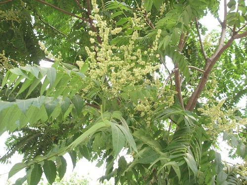 AilanthusAltissimaFlower2