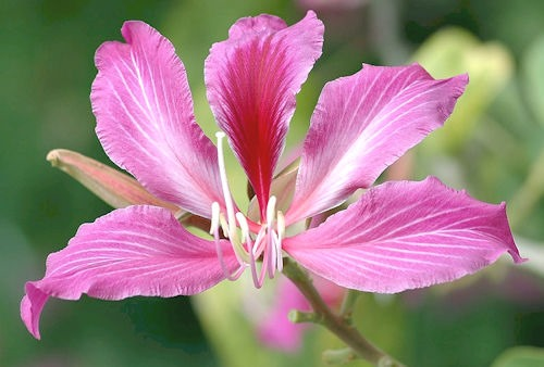 Bauhinia_blakeana_(Key_West)