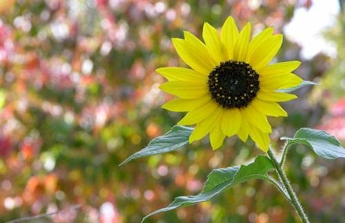 Autumn_Sunflower_Helianthus_annuus