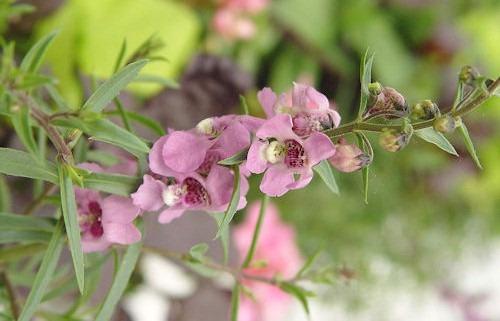 Maypurpleflower