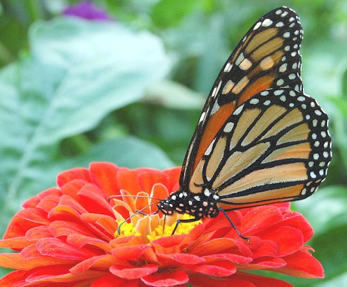 Monarch_Butterfly_Red_Zinnia