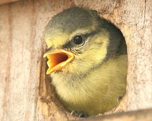 Parus_caeruleus_chick