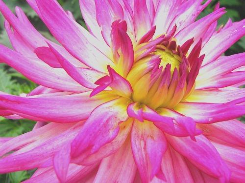 Pink_Flower[6]
