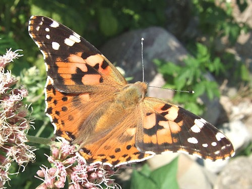 Vanessa_cardui_on_Eupatorium02