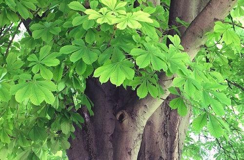 Aesculus_hippocastanum-1