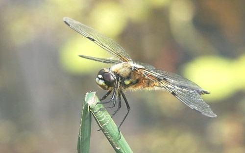 Dragonfly_macro
