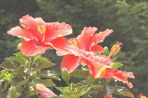 Hibiscus_Flower