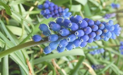 Muscari_Neglectum