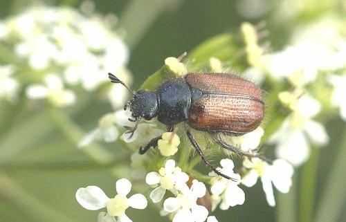 Phyllopertha_horticola