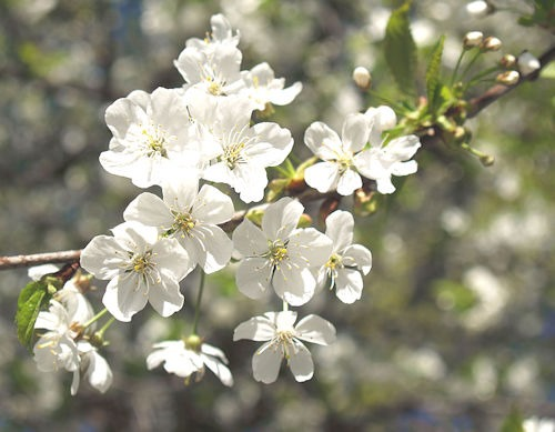 Prunus_cerasus