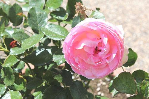 Rose_'Königin_von_Dänemark'