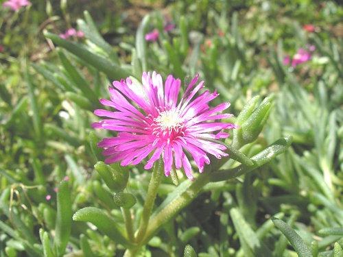Drosanthemum_speciosum_(1)