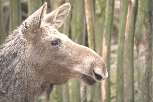Elch_Zoo_Gelsenkirchen