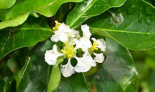 Flower_of_acerola2