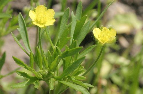 Ranunculus_arvensis_Acker-Hahnenfuß
