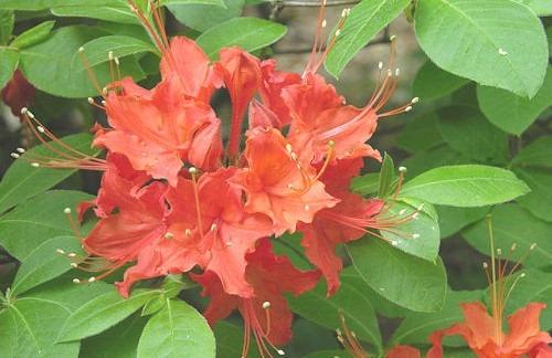Flame_Azalea_Rhododendron