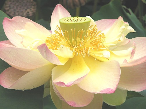 Lotus_Nelumbo