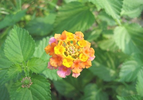 Multi-colored_Wild_Lantana_Camara_3