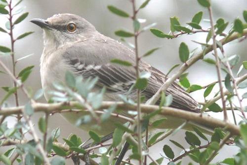Northern_Mockingbird_USA