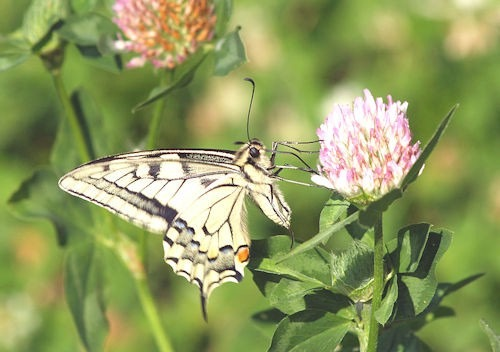 Papilio_machaon