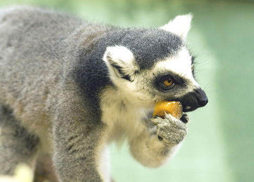 Ring-Tailed_Lemur