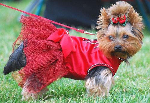Yorkshire_terrier[4]