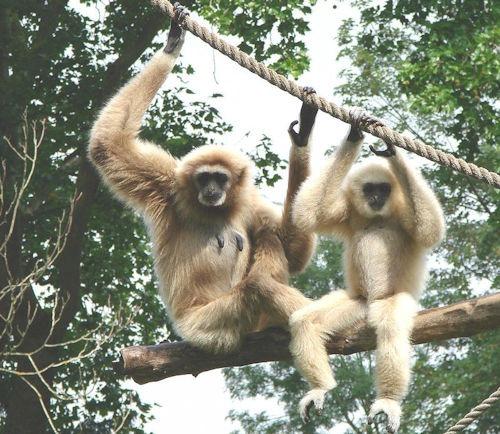 Berlin-Gibbon