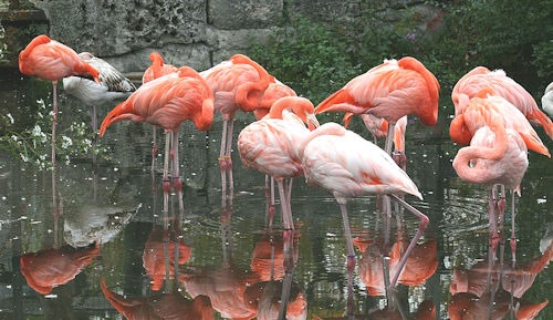 Caribbean_Flamingo[6]