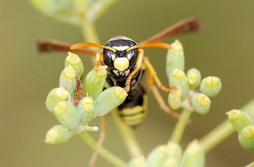 Paper_Wasp