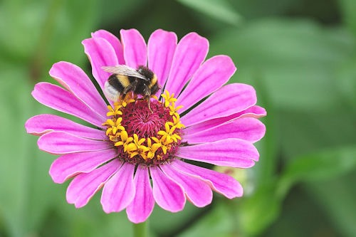 Zinnia_elegans_with_Bombus_01