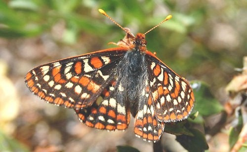 Bay_Checkerspot