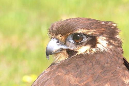 Brown_falcon