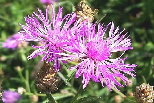 Centaurea_jacea