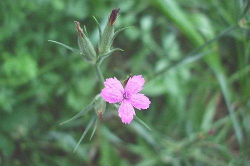 Dianthus_armeria_macro[6]
