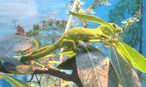 grüner_gecko