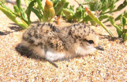 Red-capped_plover