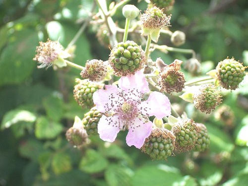 RubusFruticosus