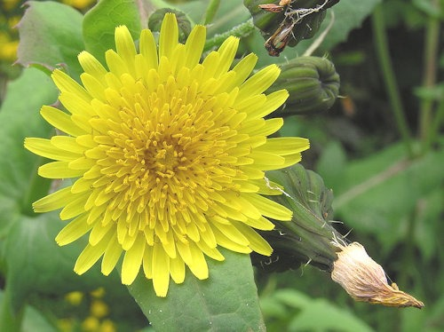 Sow-thistle_1