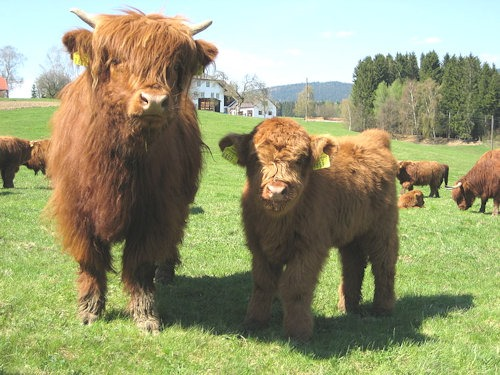 Highland_Cattle