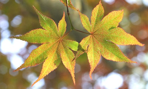 Japanese_maple_leaves