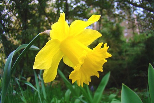 Narcissus_pseudonarcissus