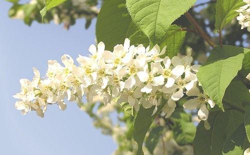 Prunus_padus