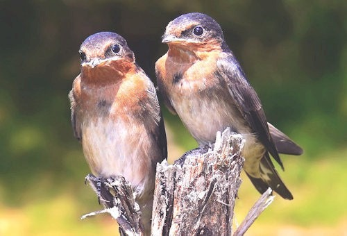 Swallow_chicks