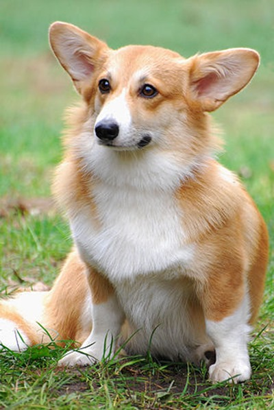 Welsh_Corgi