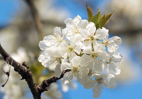 Prunus_cerasus02